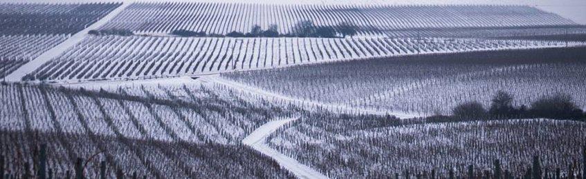 Szőlő - Tél